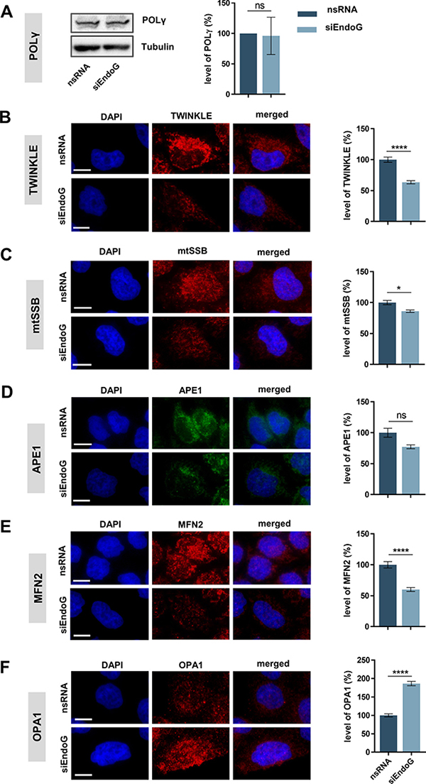 Oncotarget | Endonuclease G promotes mitochondrial genome