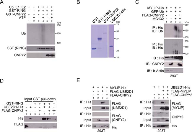Oncotarget Cnpy2 Inhibits Mylip Mediated Ar Protein