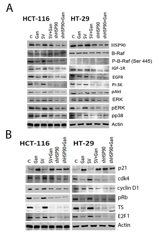 FIGURE 3: Effect of HSP90 knock-down on survival and cell cycle pathway regulatory molecules in human CRC cells.