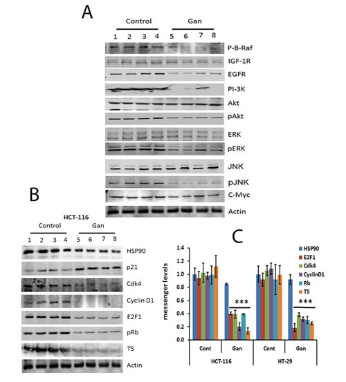 FIGURE 4: Treatment with ganetespib inhibits regulatory molecules involved in survival and cell cycle molecular pathways in HCT-116 and HT-29