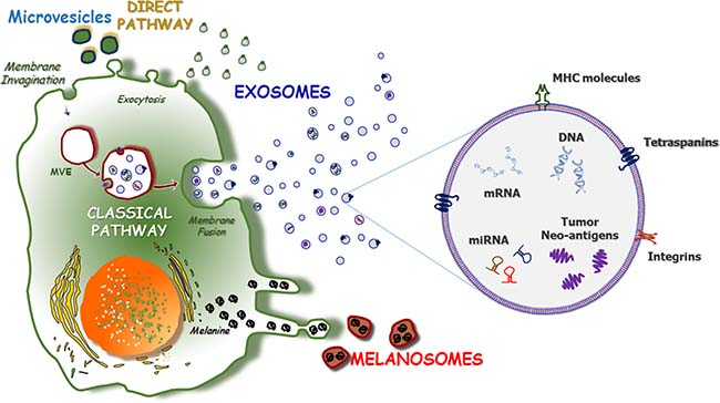 The pathways of exosome formation.