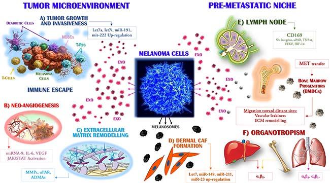 Exosomes drive the metastasis of melanoma cells.