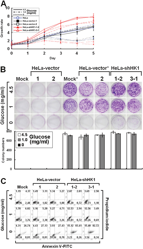 Silencing of HK1 enhances glucose dependence during cell growth.