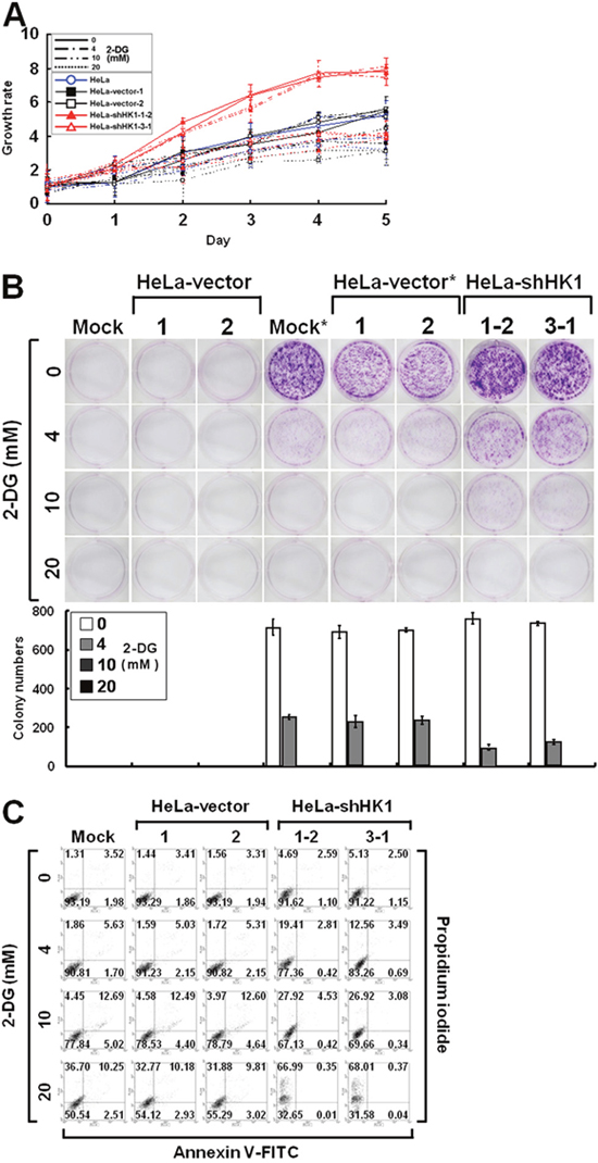 HK1 silencing increases the susceptibility to 2-DG inhibition.