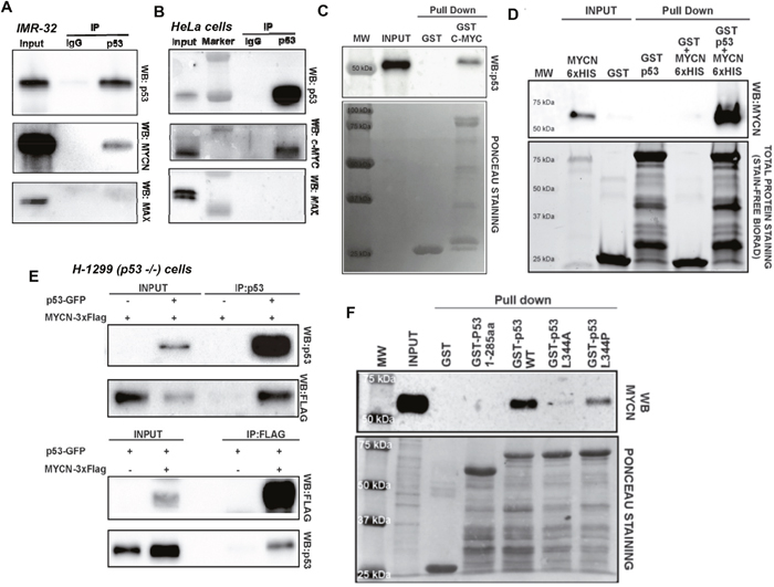 Oncotarget | MYCN acts as a direct co-regulator of p53 in