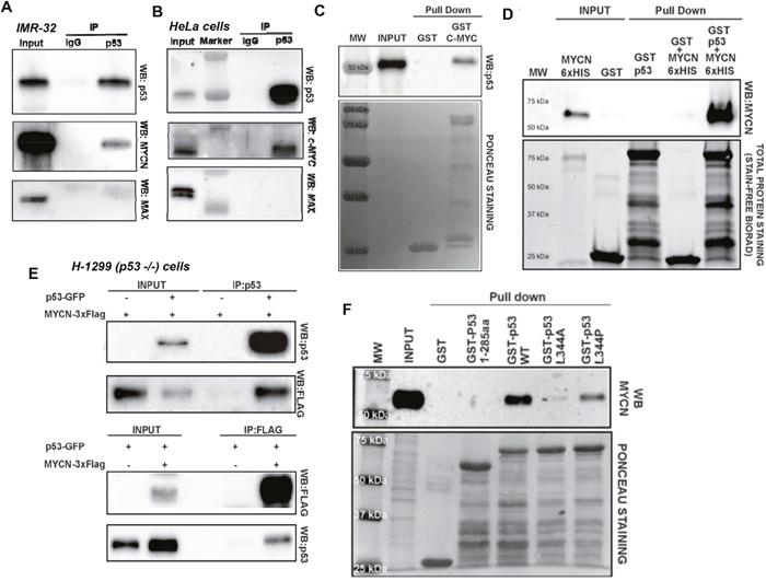 (A) Endogenous MYCN and p53 co-IP.