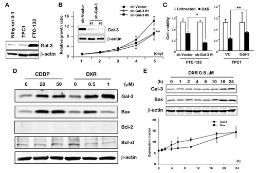 Fig.1: Gal-3 expression contributes to cell growth and cell death in thyroid carcinoma cells in response to DXR treatment.