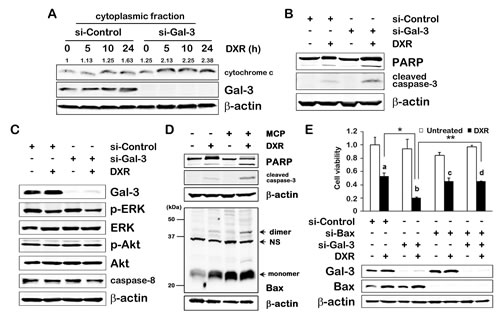 Fig.2: Gal-3 contributes to anti-apoptosis in intrinsic apoptotic pathway.
