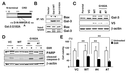 Fig.4: NWGR motif of Gal-3 CRD is crucial for interaction with Bax.