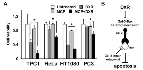 Fig.5: Anti-apoptotic role of Gal-3 through Bax is suppressed by Gal-3 inhibitor in cancer cells.