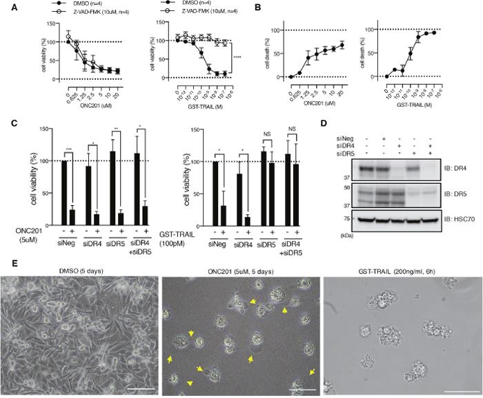 ONC201 kills breast cancer cells via caspase- and death receptor-independent mechanism.
