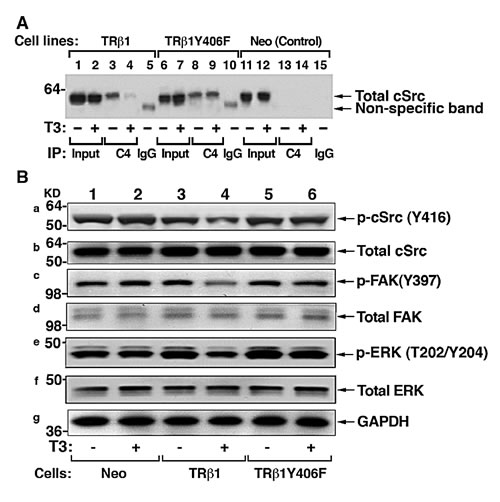 cSrc signal pathway is constitutively activated by TR1Y406F via stable protein-protein interaction.