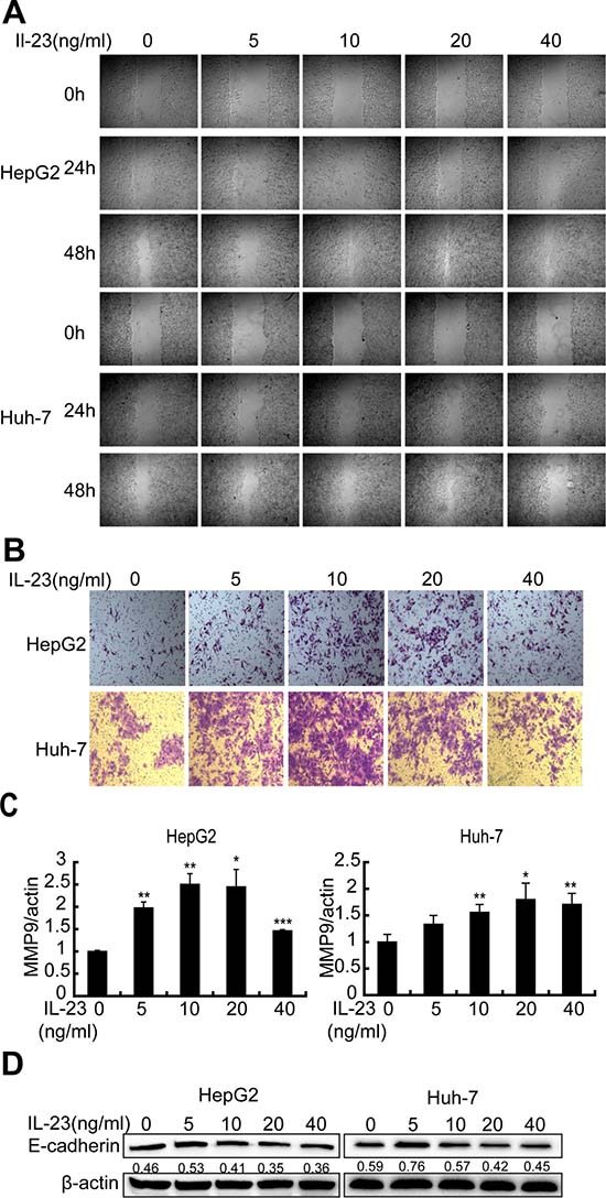 hrIL-23 induces motility and invasivity of hepatoma cells.