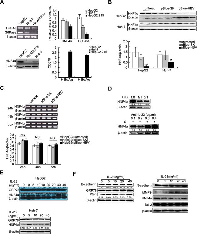 Downregulation of HNF4α by HBV-related IL-23.