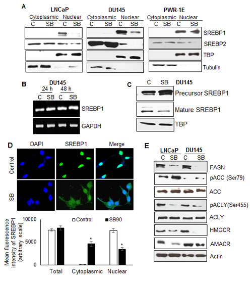 Silibinin decreases SREBP1/2 nuclear localization specifically in PCA cells, and modulates expression/phosphorylation of key molecules involved in lipogenesis.
