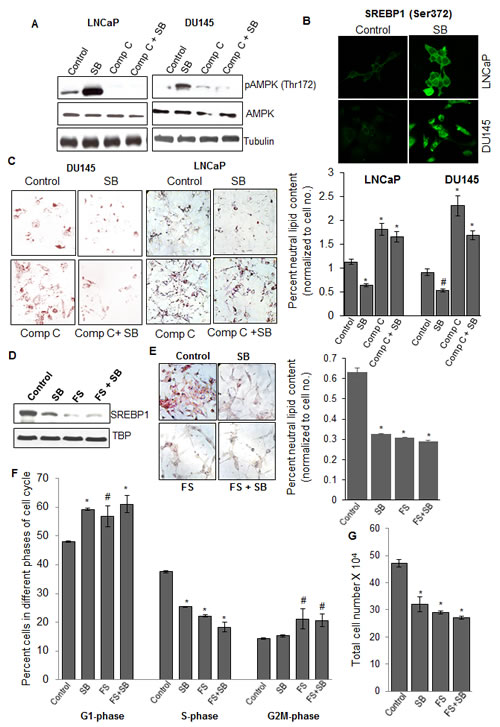 Silibinin decreases SREBP1 expression via activating AMPK, and does not show additional efficacy against PCA cells in the presence of SREBP1 inhibitor fatostatin.