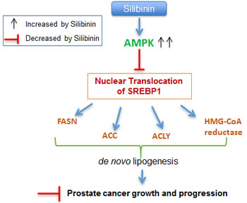 Schematic representation of silibinin-mediated action against lipogenesis and cell growth inhibition in PCA.