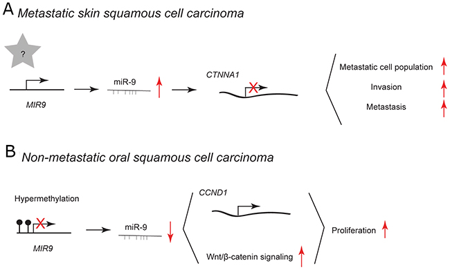 miR-9 and miR-9* functions in human skin and oral cavity squamous cell carcinoma.
