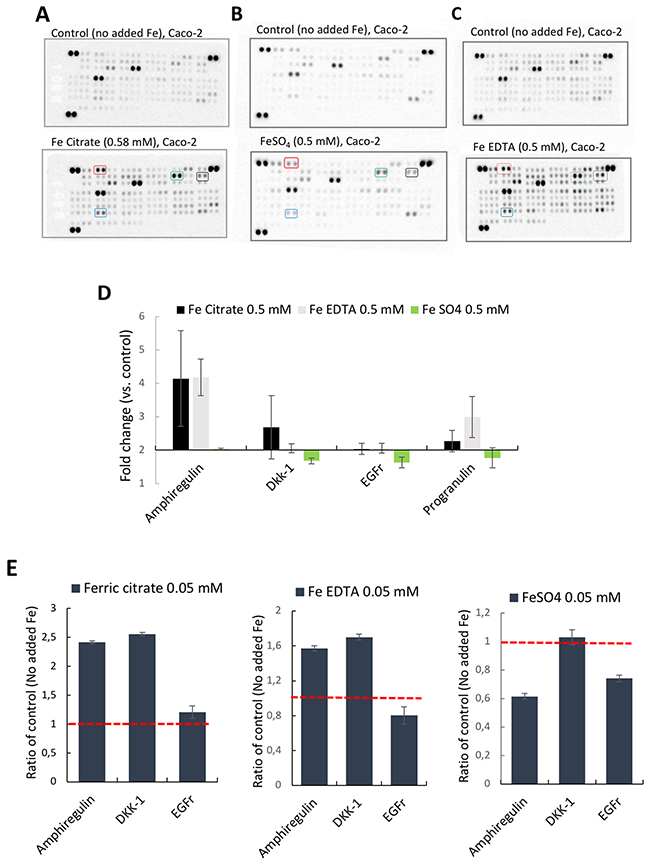 Proteome profiler™ arrays on human epithelial colorectal adenocarcinoma Caco-2 cells incubated with different iron compounds.