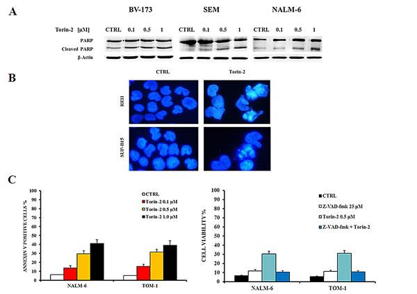 Torin-2 induces apoptosis.