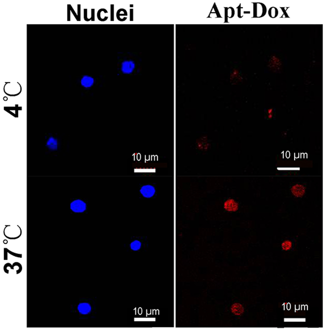 Internalization of Apt-Dox by CD19-positive cells at 37°C and 4°C.