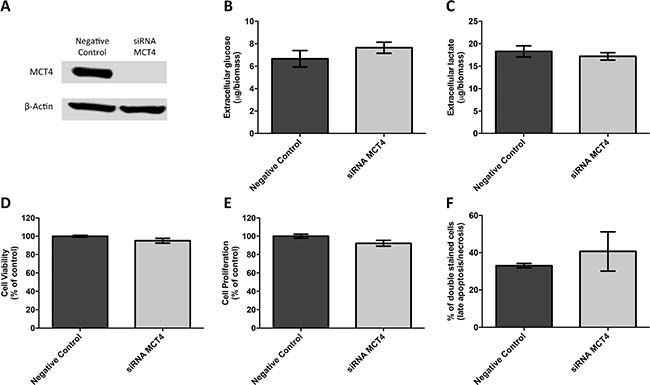MCT4 silencing had no effect on metabolic parameters as well as viability, proliferation and death of JEG-3 cells.