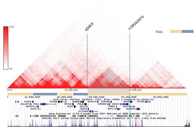 VDAC3 and rs58163073 are located within the same TAD in lung cell line.