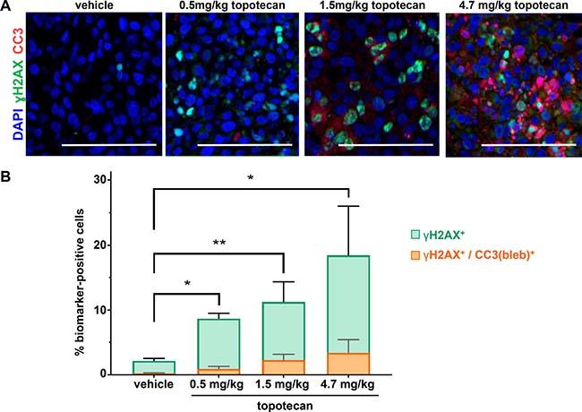 γH2AX/CC3(bleb) cellular colocalization assay results reveal dose-dependent induction of apoptosis at topotecan levels associated with tumor growth delay in the A375 melanoma xenograft model.