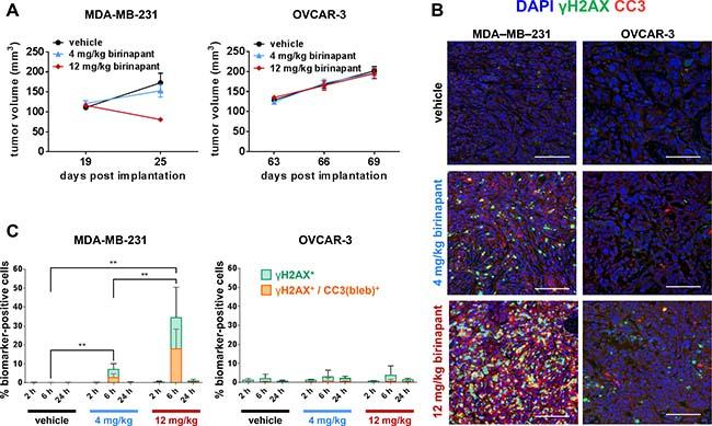 γH2AX/CC3(bleb) colocalization is a high-specificity biomarker for in vivo antitumor activity of the apoptosis-inducing agent birinapant.