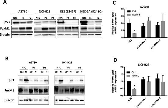 Endogenous wild type p53 suppresses FoxM1 expression whereas R248Q mutant p53 enhances FoxM1 expression.