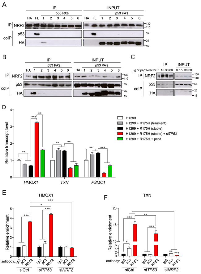 Mutant p53-NRF2 interaction is crucial for regulating NRF2 targets.