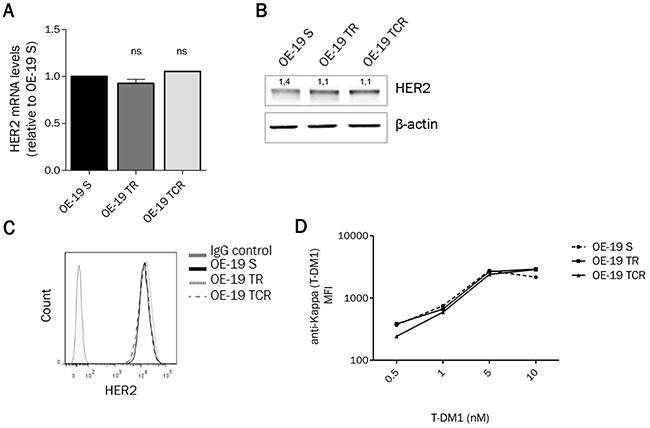 HER2 expression remains unchanged after chronic exposure to T-DM1.