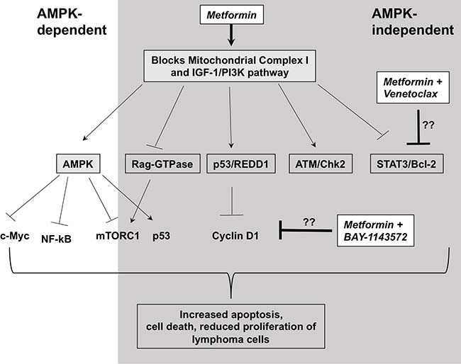 Possible mechanism of action of metformin in lymphoma cells.