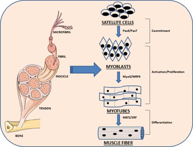 Oncotarget Influence Of Physical Exercise On Micrornas In Skeletal