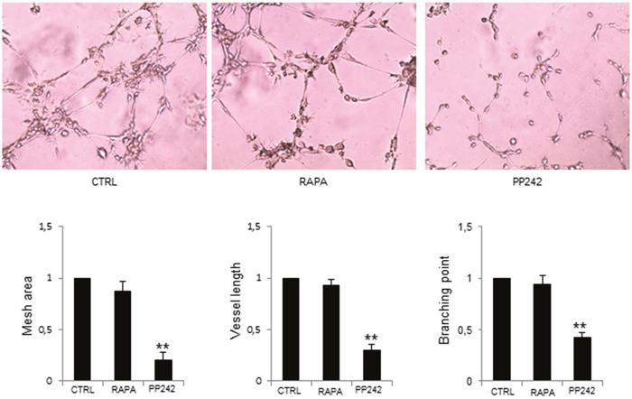 PP242 inhibition of MM-ECs angiogenesis in vitro.
