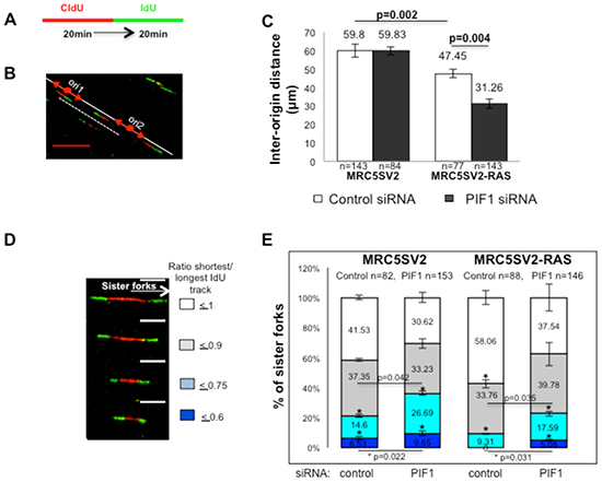 PIF1 depletion changes the frequencies of activation of new replication origins and fork stalling under conditions of oncogene overexpression.