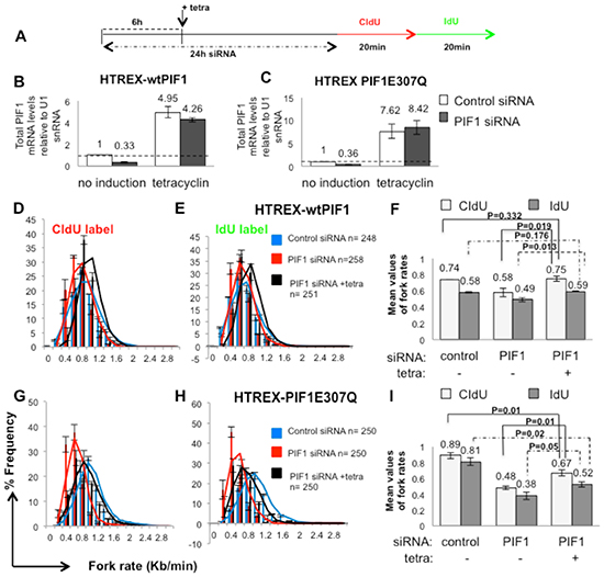 Decreased replication rates upon PIF1 depletion were restored in HCT116 cells by overexpression of wild type PIF1 protein while a helicase mutant failed to restore replication to wild type levels.