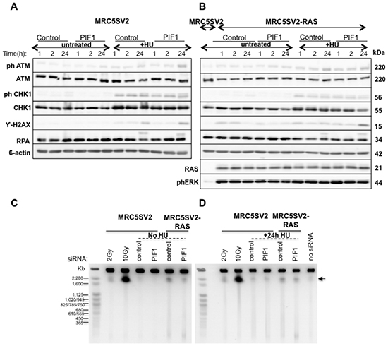 Increased fork stalling after PIF1 depletion is not associated with activation of DNA damage responses, or increased DSB formation.