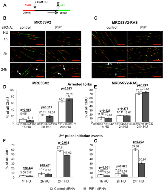 Effects of PIF1-depletion on recovery of stalled replication forks.