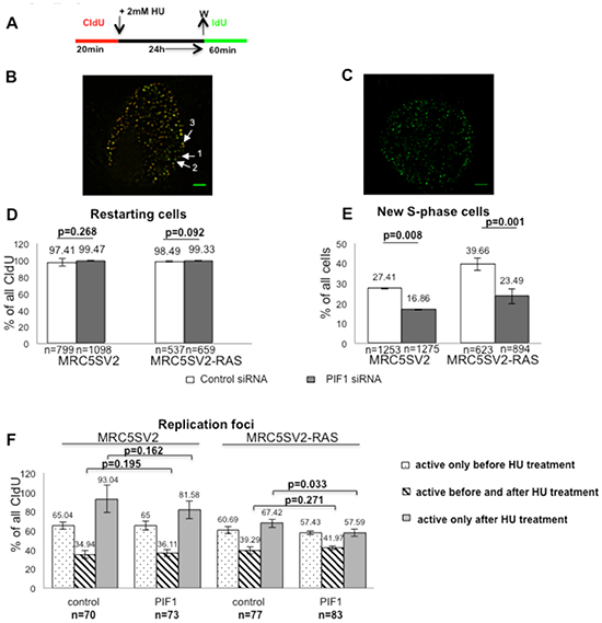 PIF1 is required for efficient resumption of DNA synthesis after prolonged replication arrest.