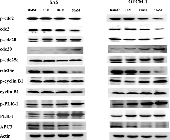 The expression of proteins related to cell cycle regulation in SAS and OECM-1 cells.