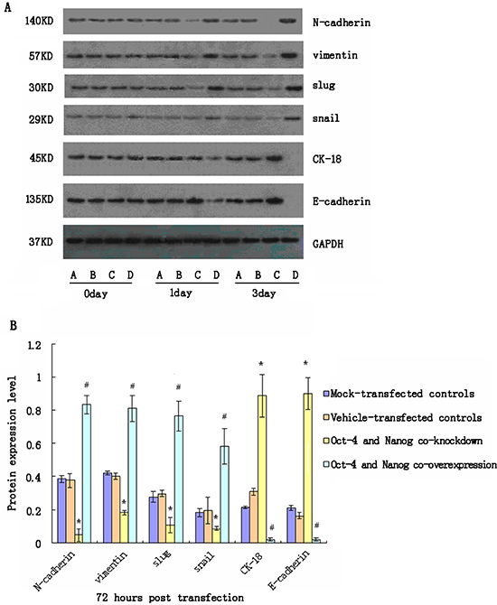 Western blot analyses of relative expression levels of epithelial-mesenchymal transition (EMT)-related genes in cancer stem cells (CSC) following modulating Oct-4 and/or Nanog expression in vitro.