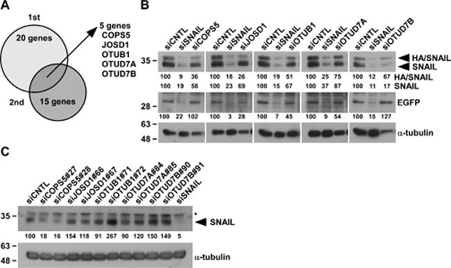 Identification of deubiquitinating enzymes targeting SNAIL.