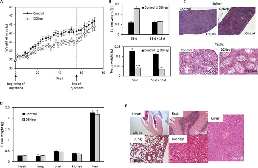 Effect of DZNep on body weight, and tissues of immunocompetent mice.