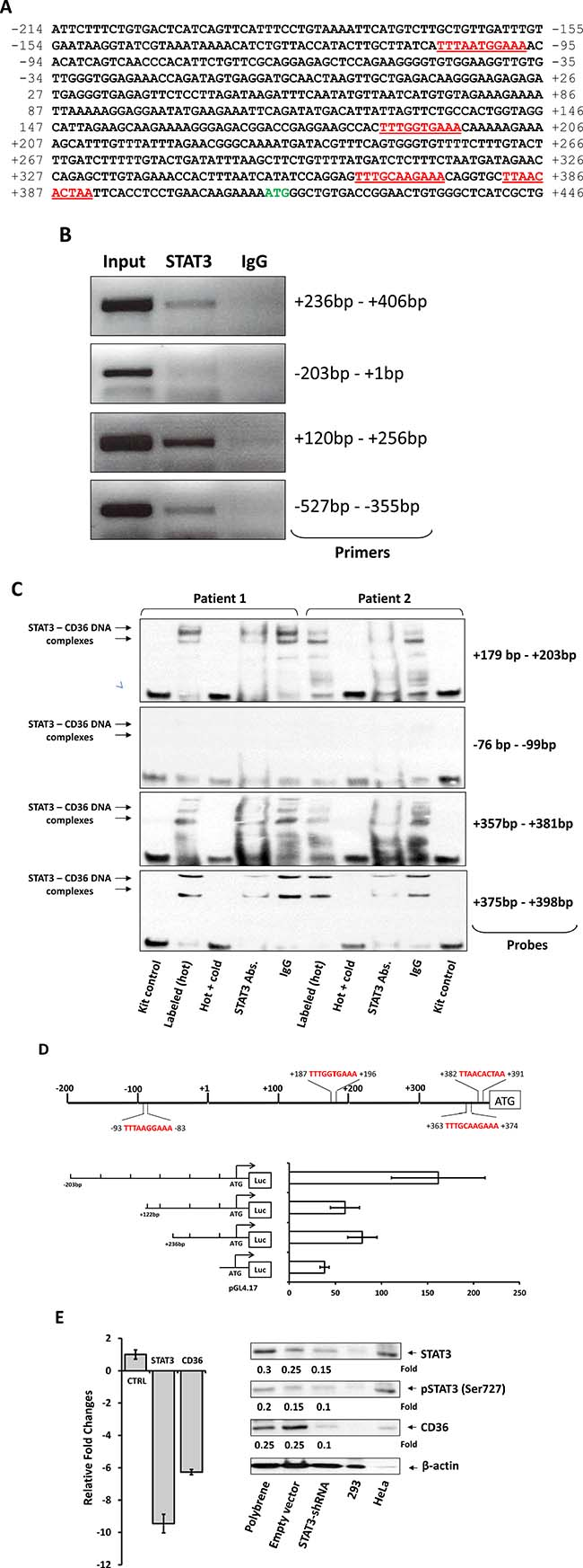 STAT3 binds to and activates the CD36 gene promoter.
