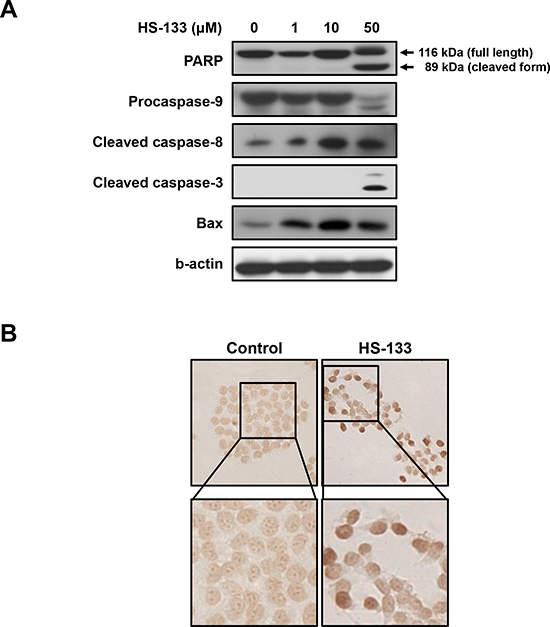 Effect of HS-133 on apoptosis in SkBr3 cells.