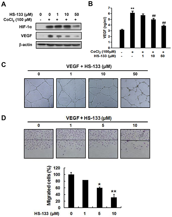 Effect of HS-133 on angiogenesis of SkBr3 cells and HUVECs.