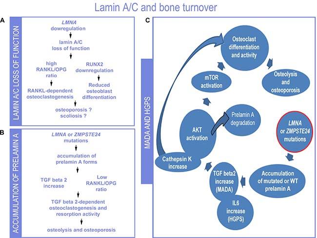 Proposed lamin-dependent pathogenetic mechanisms of bone disorders.