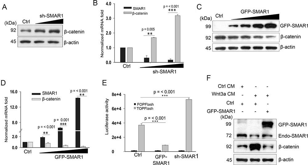 SMAR1 inhibits Wnt/β-catenin signaling pathway.
