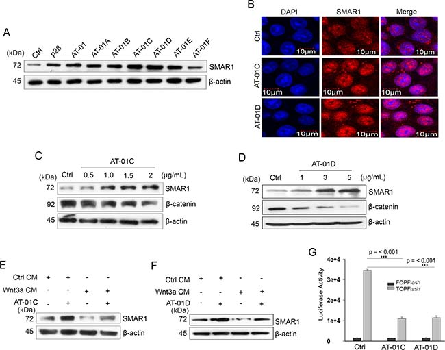 Microbial peptides attenuate Wnt/β-catenin signaling.